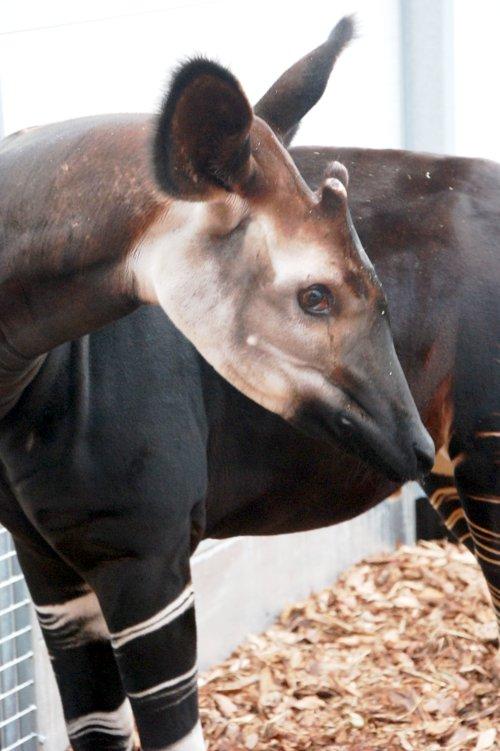 Okapi z wrocławskiego zoo