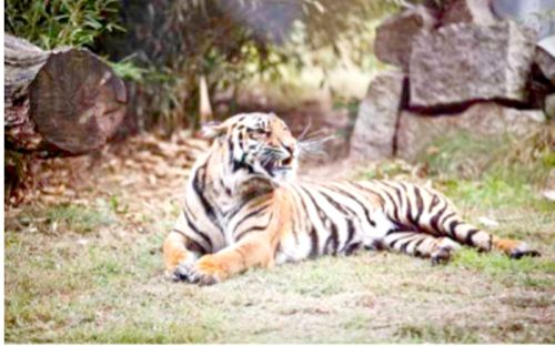 Jelonek ważny jak tygrys