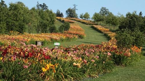 Kwitnie narodowa kolekcja liliowców