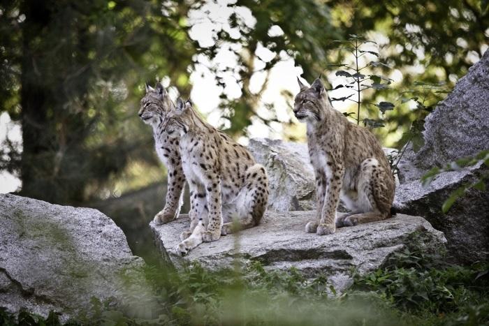 Nasze dzikie koty