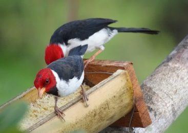 Mały koczkodan i ptakoluby